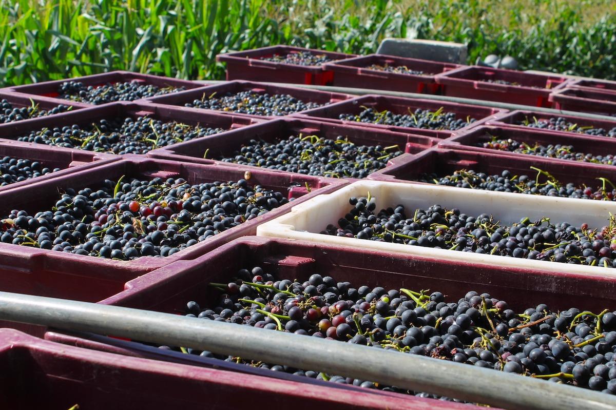 Método de produção do vinho tinto – conheça o passo a passo