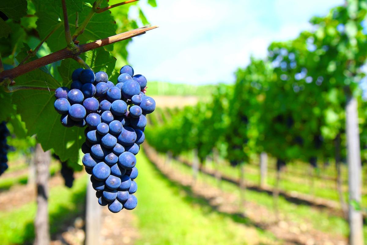 Principais uvas que elaboram o vinho tinto